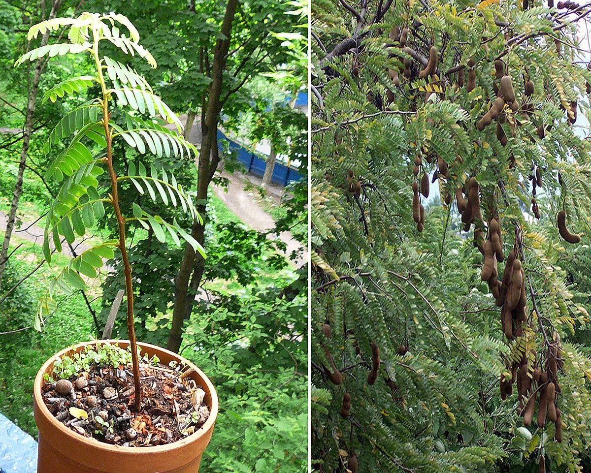 Тамаринд — полезные свойства индийского финика, выращивание в домашних условиях