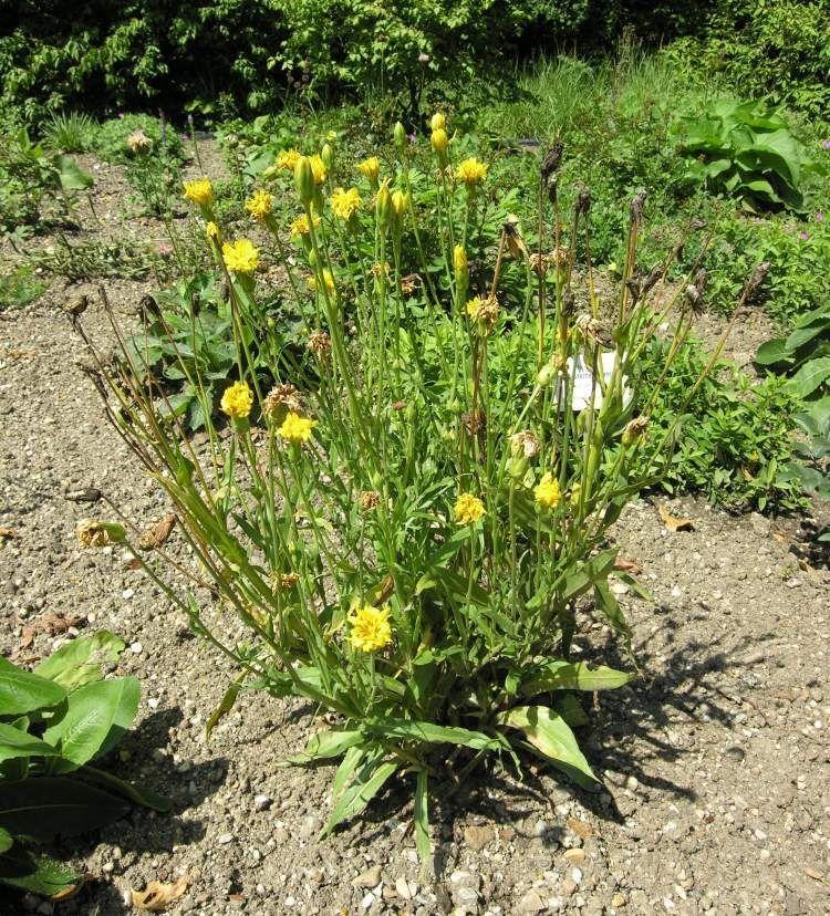 Выращивание и лечебные свойства скорцонеры - scorzonera hispanica — floraprice.ru