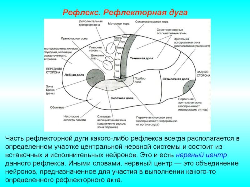 Рефлекторная дуга – строение, механизмы и принципы работы