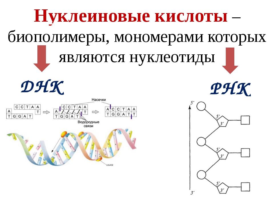 Нуклеиновые кислоты – определение в биологии (9 класс)