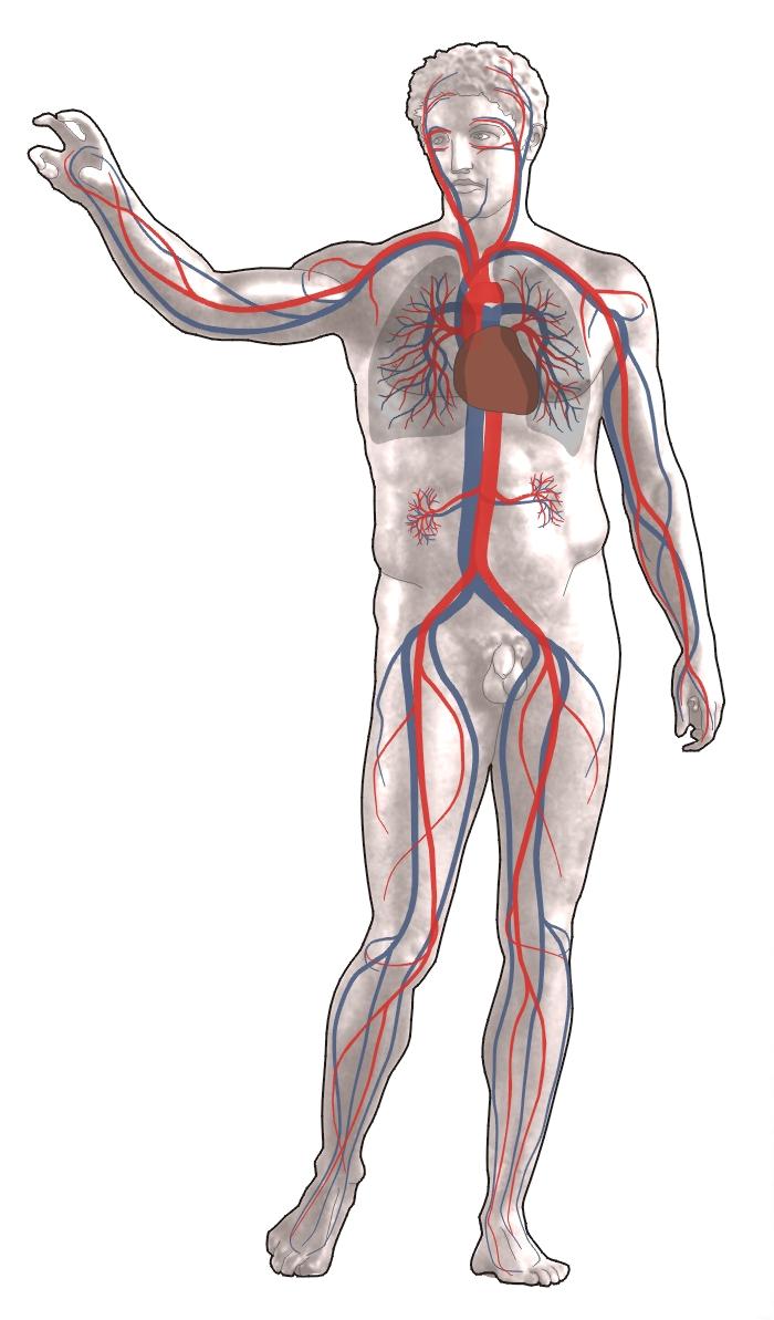 Сердечно - сосудистая или кровеносная система человека. анатомия