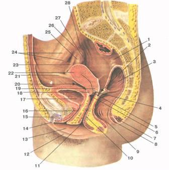 Что такое уретра у женщин, анатомические особенности