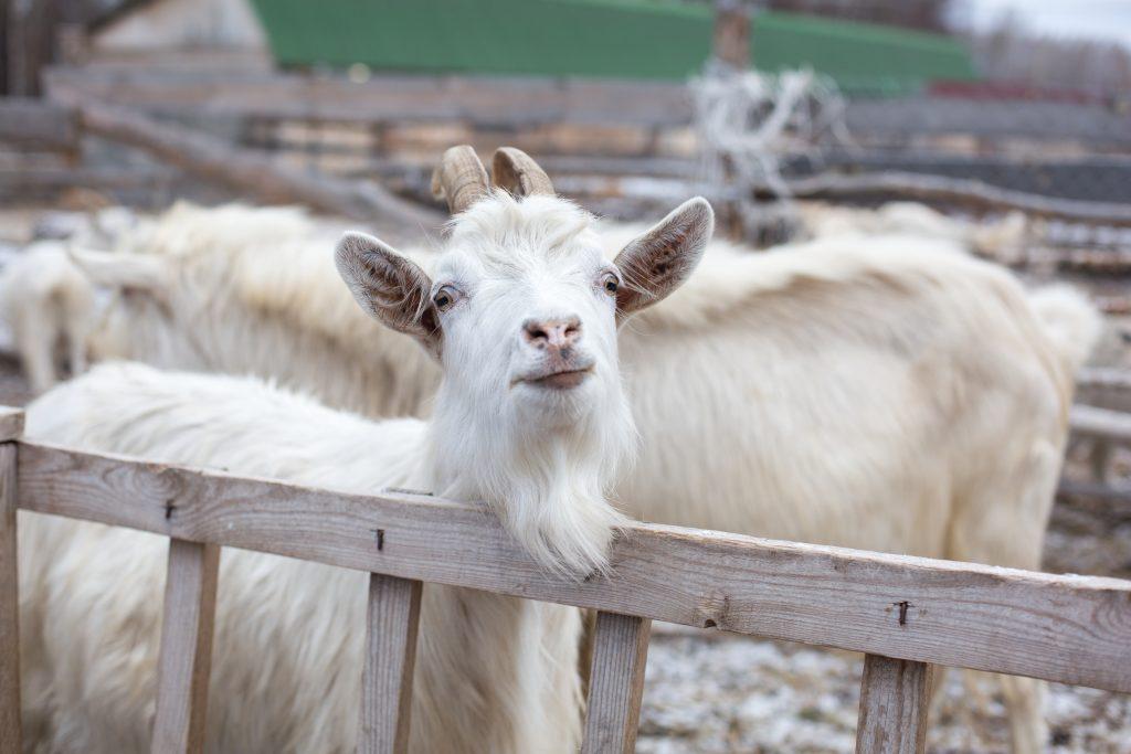 Содержание коз: фото, видео, чем кормить коз, советы для начинающих