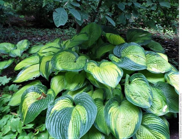 Хоста: описание и особенности выращивания