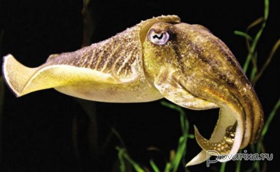 Внешний вид каракатицы