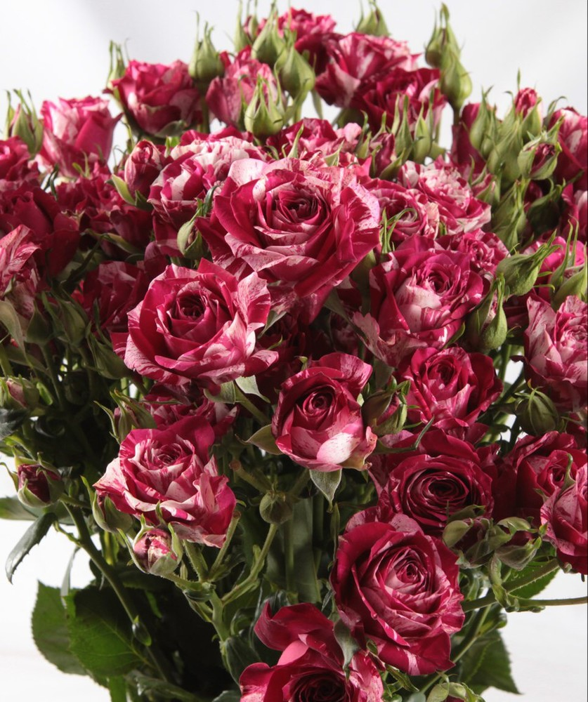 Роза спрей: выращивание и уход в открытом грунте. | растюнька