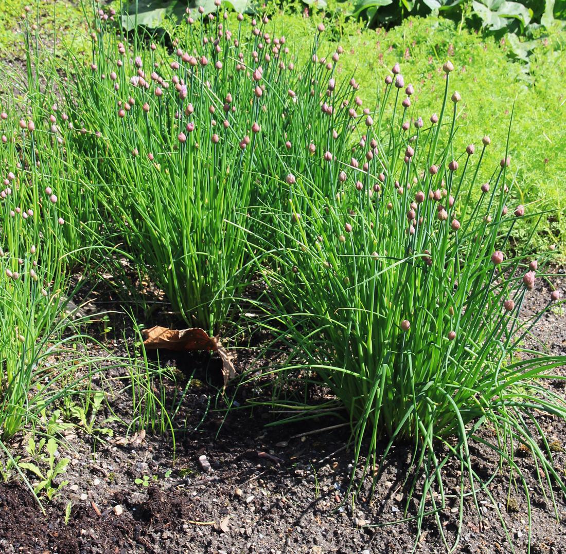 Лук джусай — выращивание. джусай: фото, полезные свойства, выращивание, как хранить лук