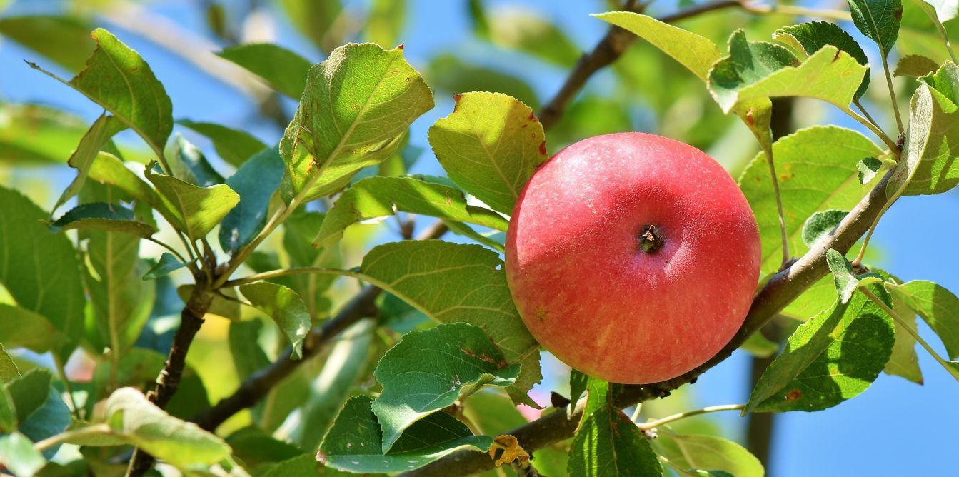 Яблоко — википедия