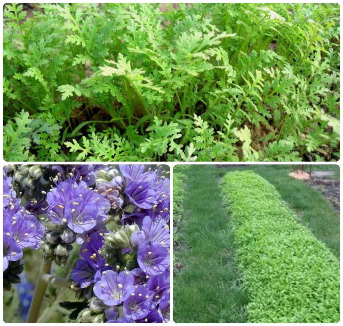 Что такое сидераты для огорода, как их применять