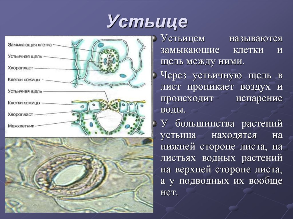 Устьице — википедия. что такое устьице