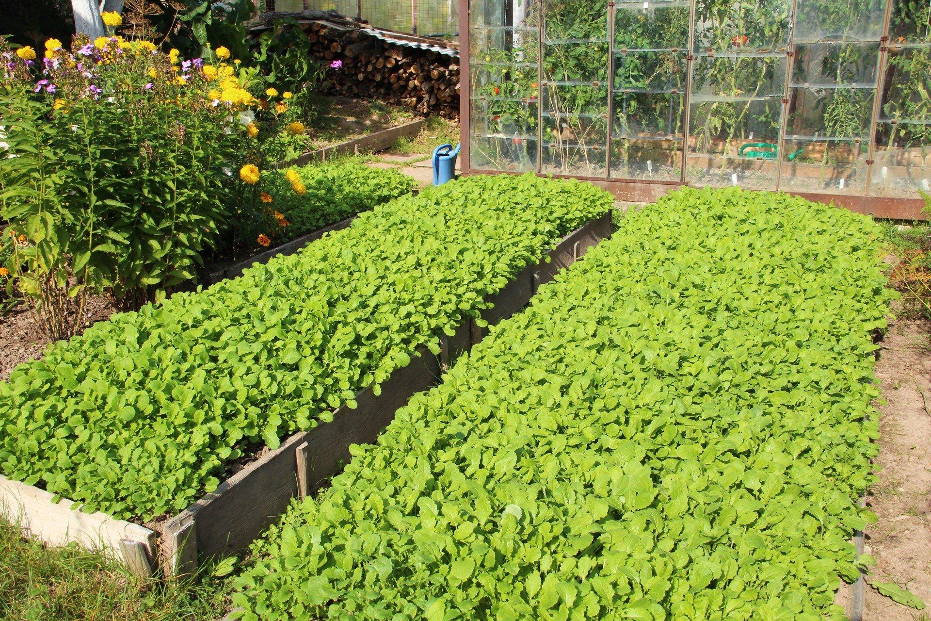 Какие сидераты можно сеять осенью после уборки урожая | дела огородные (огород.ru)