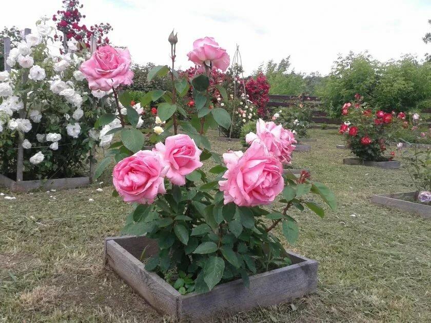 Роза флорибунда: фото, описание и выращивание дома