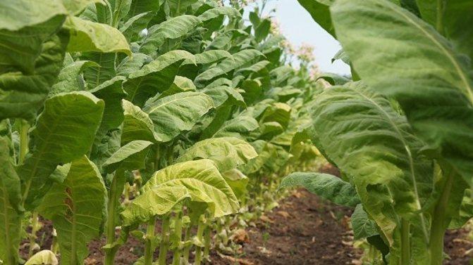 Табак курительный: выращивание семенами, сбор и хранение, фото