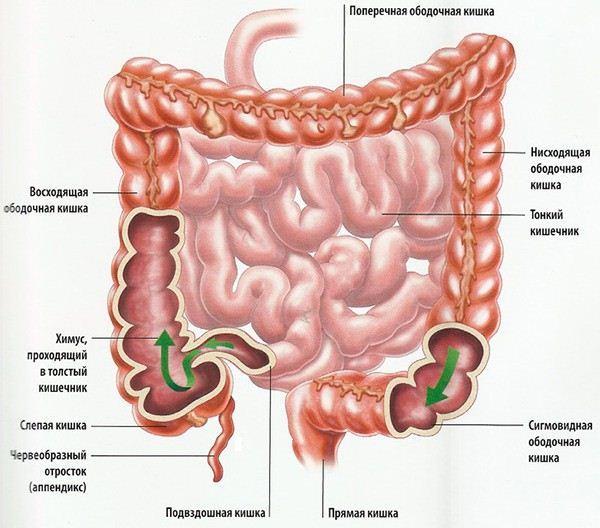 Кишечник в организме человека: строение, функции, заболевания