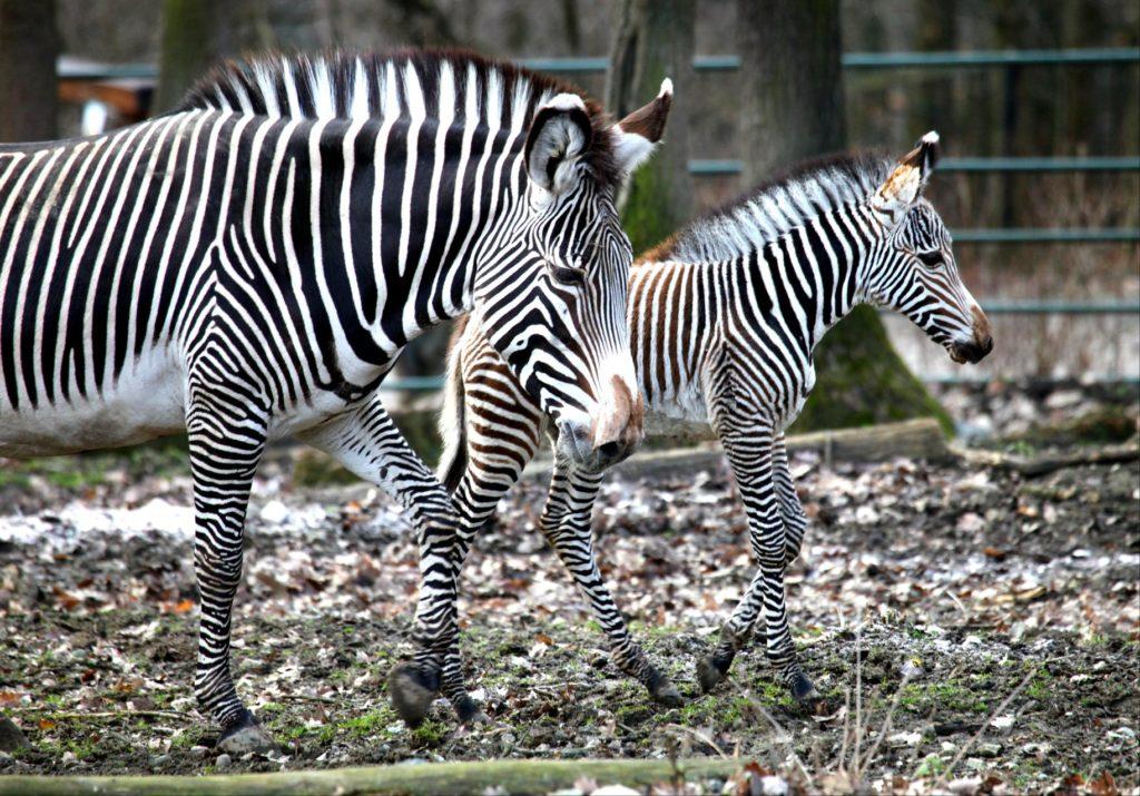 Зебры — википедия. что такое зебры