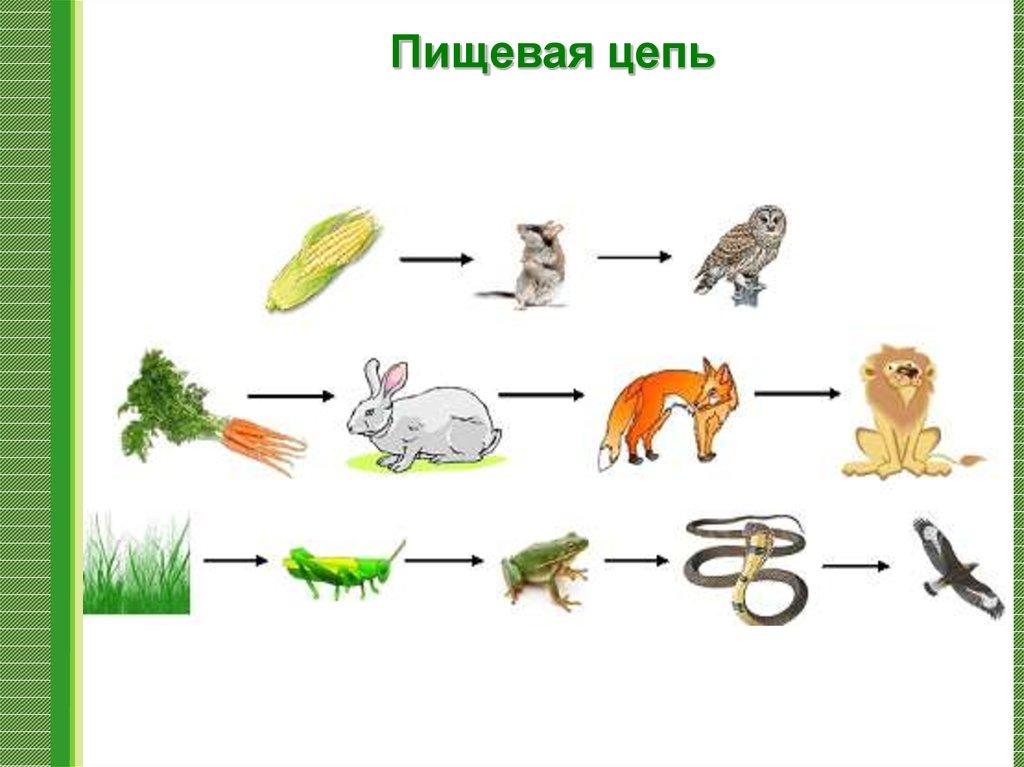 Пастбищная пищевая цепь – примеры