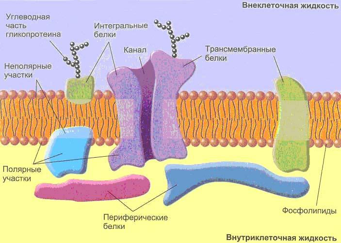 Мембрана: что это такое и как работает?