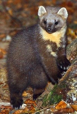 Куницы: виды, фото, описание, особенности хищников