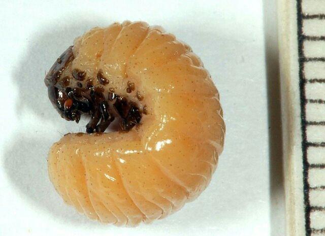 Как получить рицин в домашних условиях. рицином отравление выделение рицина из клещевины