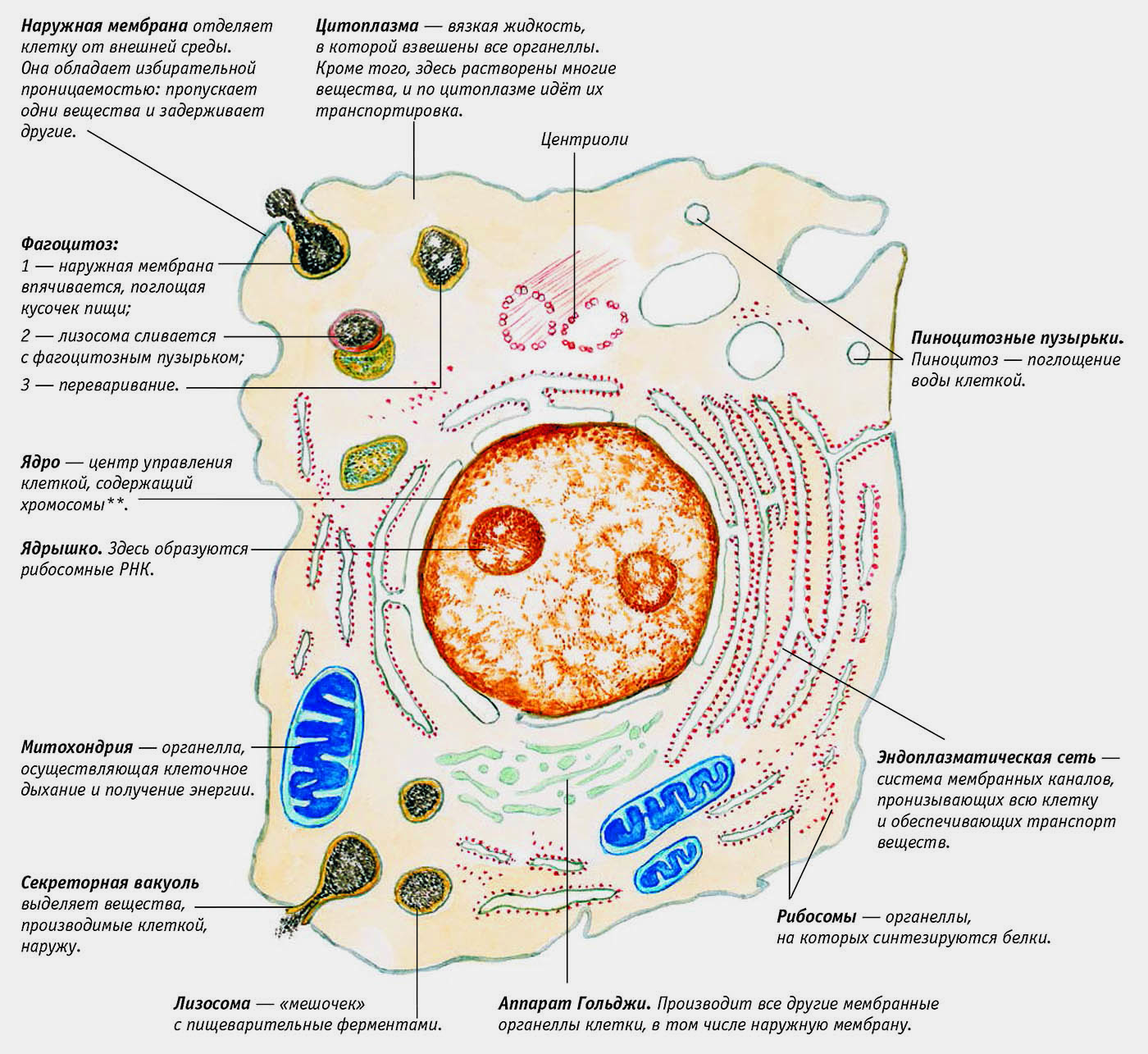 Что такое органоиды?