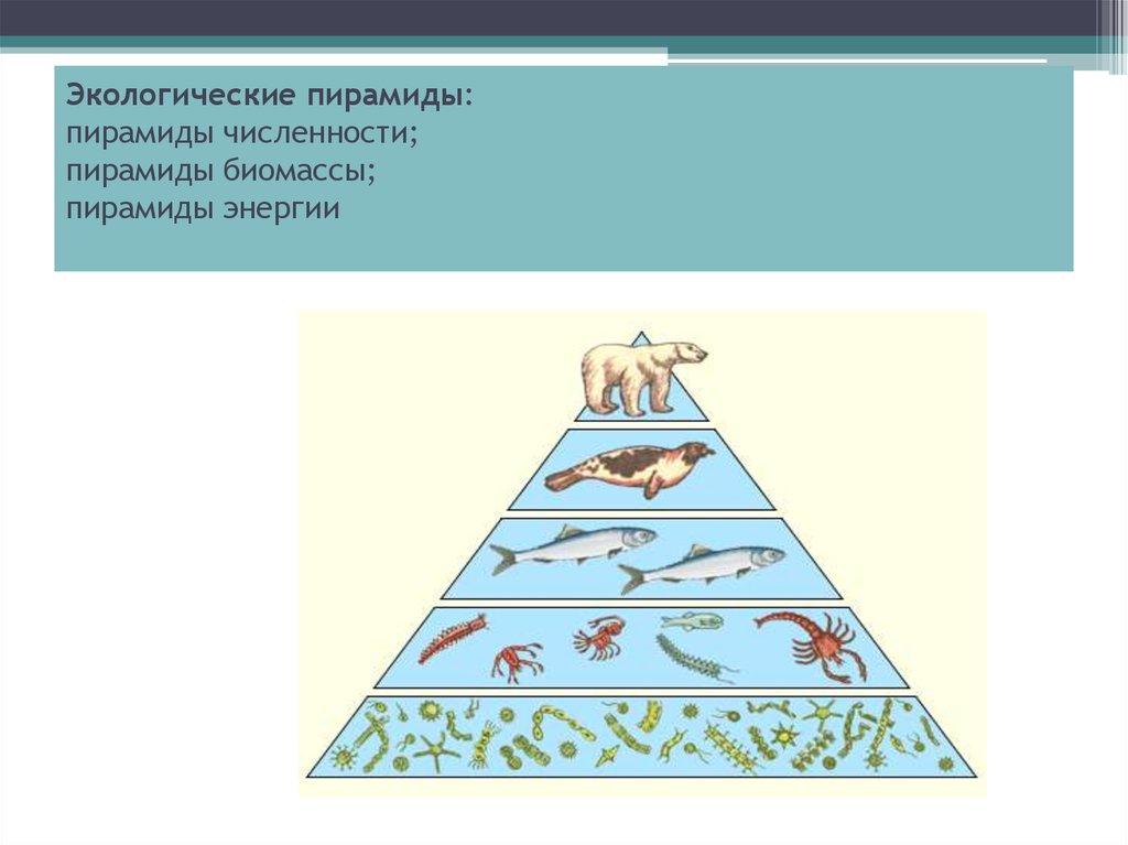 Экологическая пирамида – виды, характеристика и эффективность