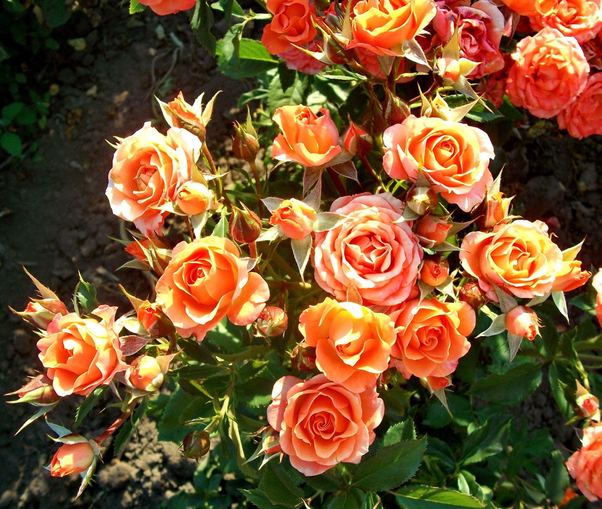 Что такое розы спрей и как их вырастить в своем саду