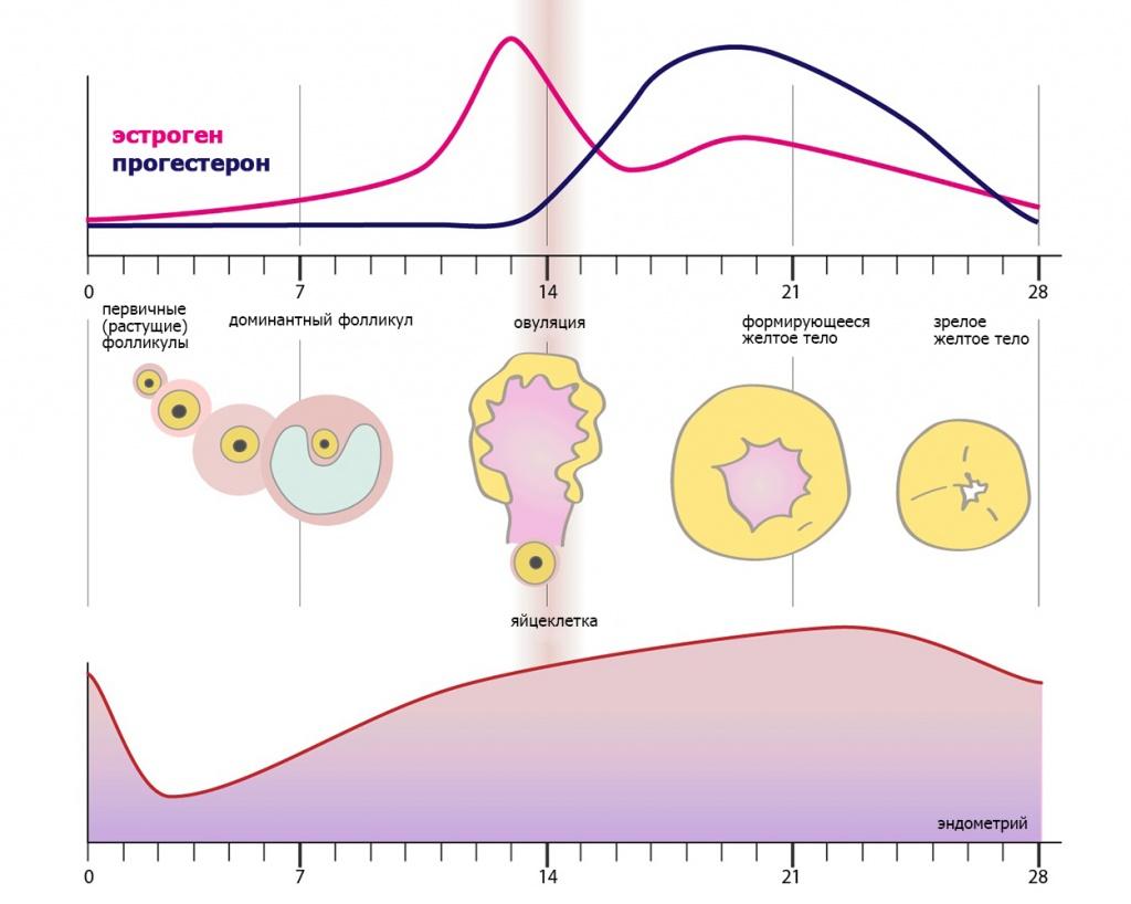 Большое количество фолликулов в яичниках что означает