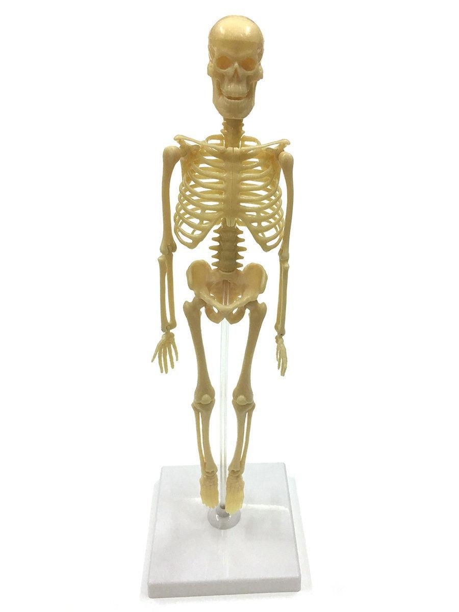Скелет человека: грудная клетка, свободные конечности, кости черепа
