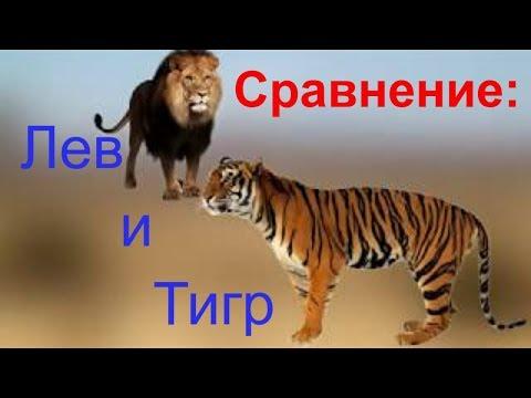 Тигры. ареал обитания, принципы охоты, социальное поведение тигров, взаимодействие с человеком