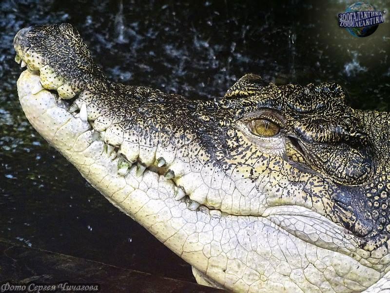 Что такое крокодил