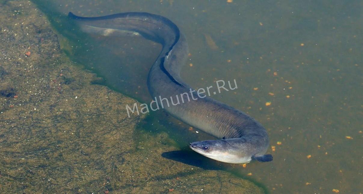 Южный тунец — википедия. что такое южный тунец