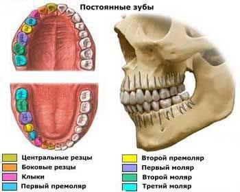 Что такое зубы. важные термины и полезные сведения