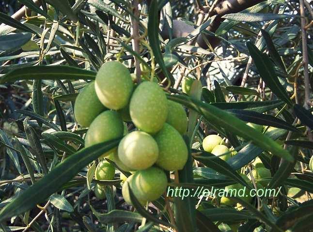 Оливки - это фрукт или ягода? описание