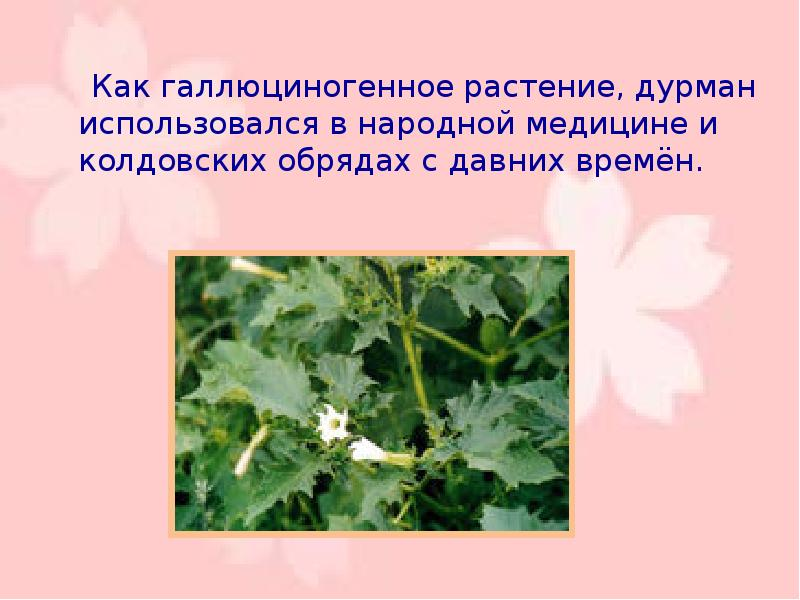 Дурман-трава: описание и фото, разновидности, польза и вред