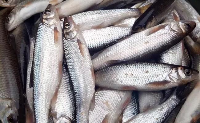 Список речной рыбы   о рыбе и рыбалке