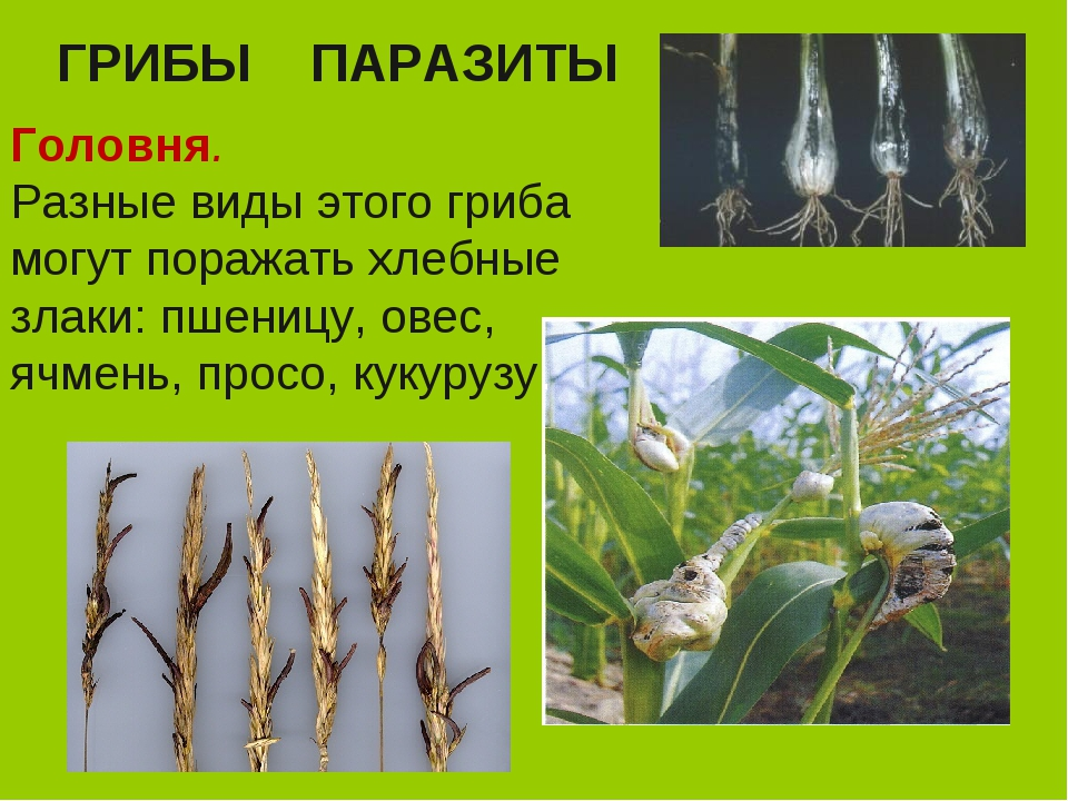 Чем опасна головня пшеницы и как с ней бороться