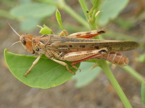 Саранча перелетная: описание вида, среда обитания, фото. нашествие саранчи и борьба с насекомыми