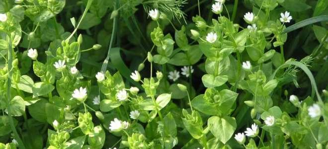 Мокрица трава лечебные свойства, противопоказания, рецепты