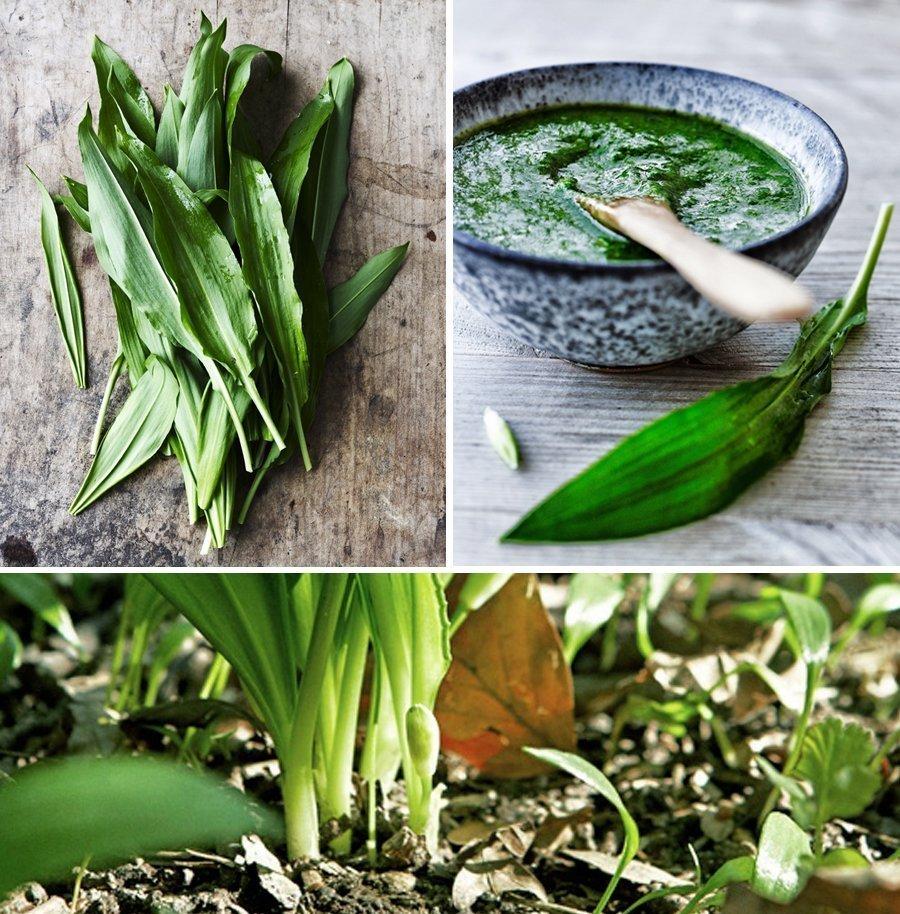 Черемша что это за растение - польза и вред здоровью, как вырастить