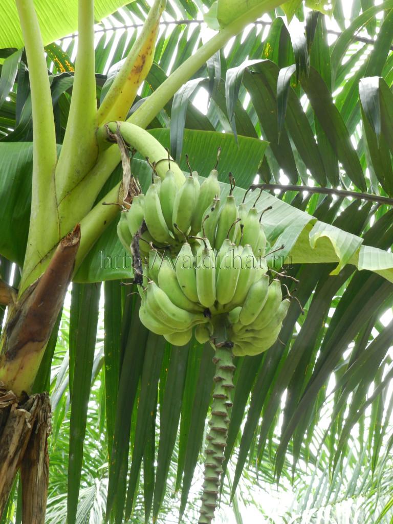 Банан - ???? польза и вред для организма ???? - калорийность плода