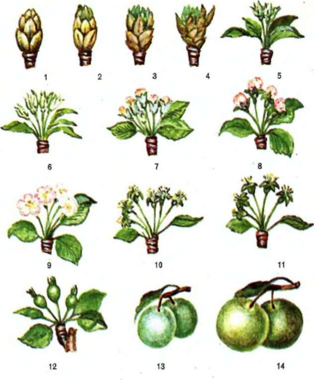 ✅ что такое вегетация плодовых деревьев. что такое период вегетации растений и как его определить - cvetochki-ulyanovsk.ru