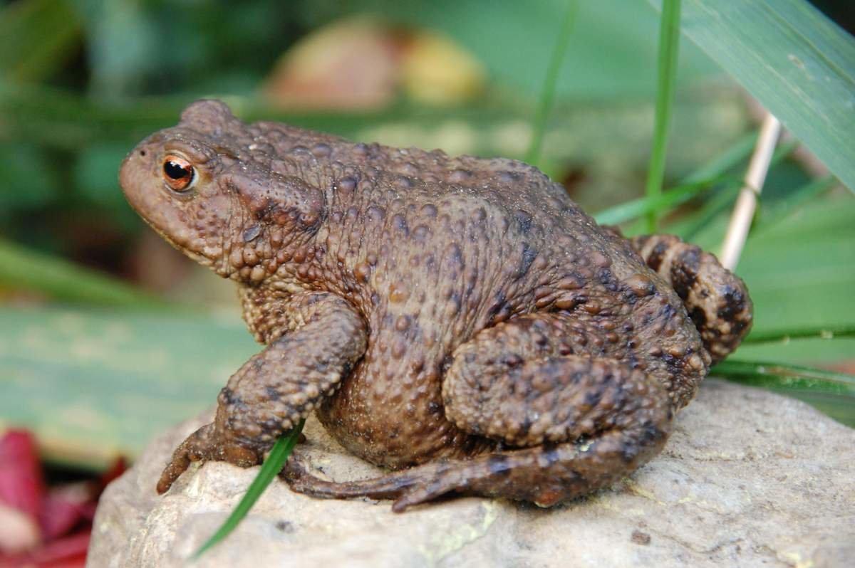 Земляная жаба ? фото, описание, ареал, питание, враги ✔