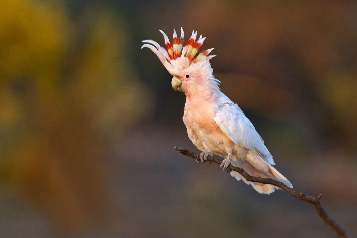 Попугай какаду - фото, описание, содержание, питание, купить