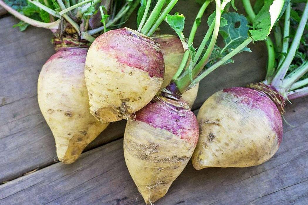 Кормовая репа или турнепс – что это такое и где применяется? выращивание овоща, его польза и вред