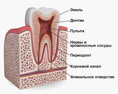 Пульпа зуба: функции, строение, клеточный состав и возрастные изменения | spacream.ru