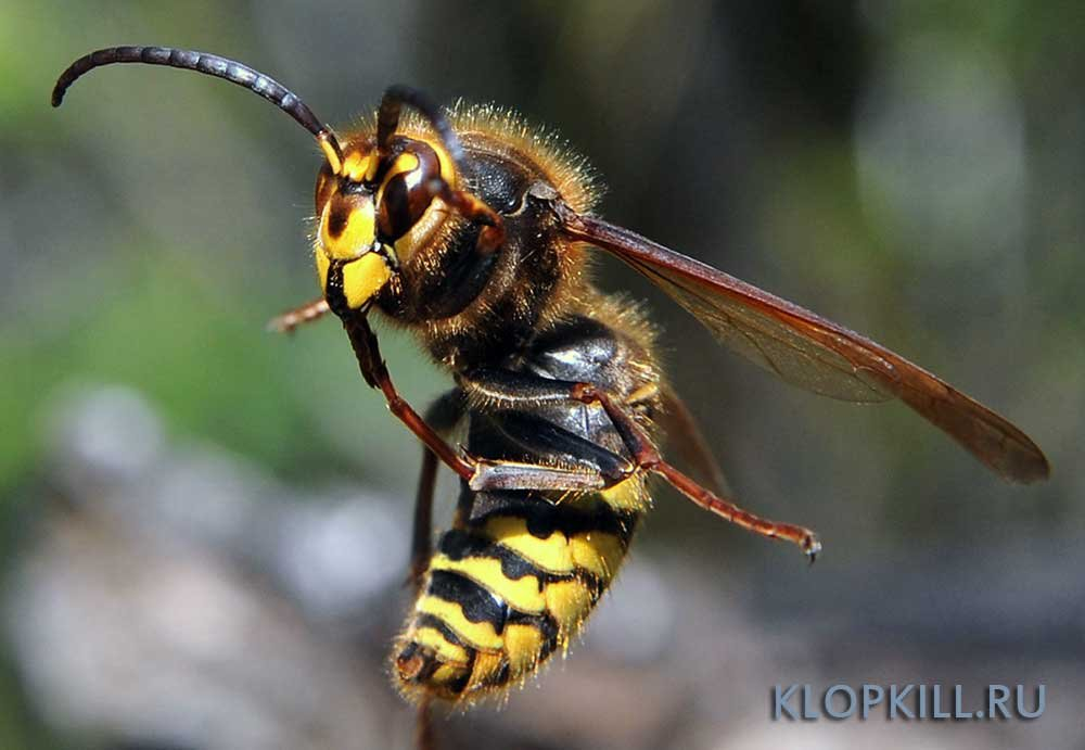 Виды шершня: обыкновенный, гигантский, азиатский и другие / как избавится от насекомых в квартире
