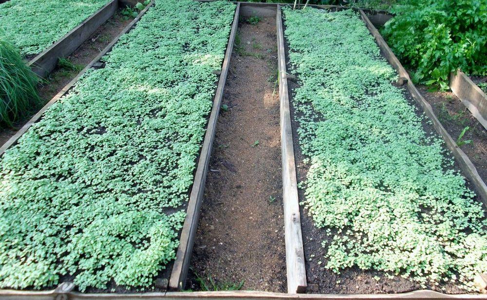 Сидераты для огорода: виды, польза, применение, как и когда сажать
