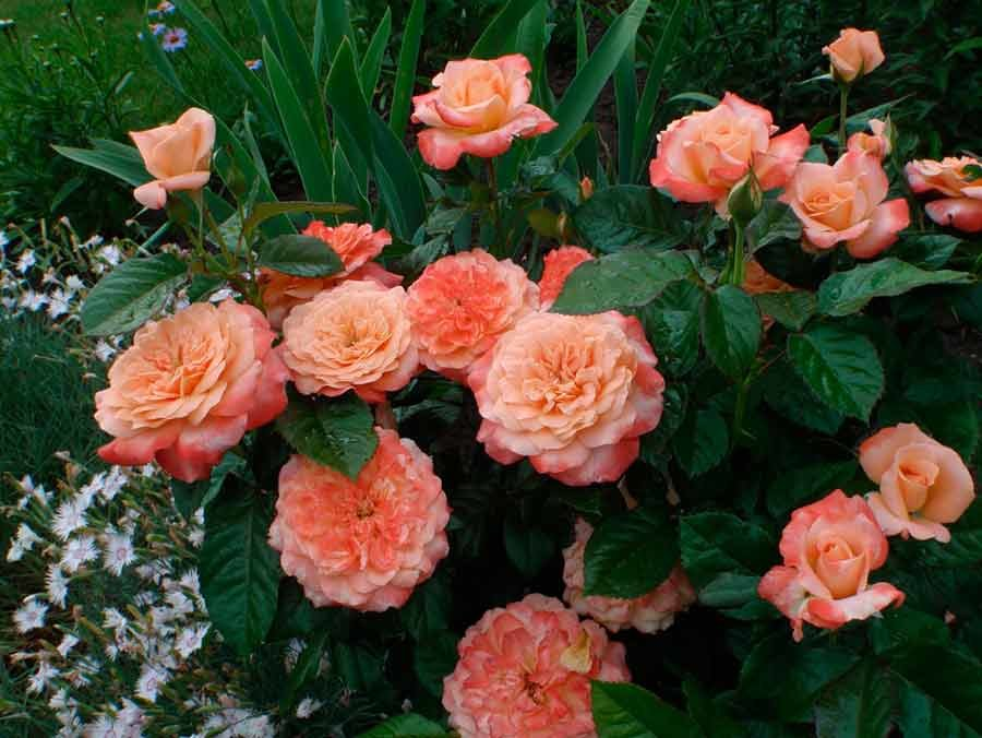 Знакомство с розой шраб: что это такое, сорта, фото, особенности выращивания