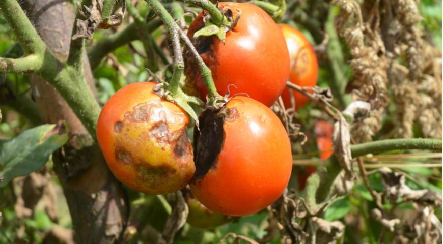 Эффективные народные средства от фитофторы на помидорах и картофеле