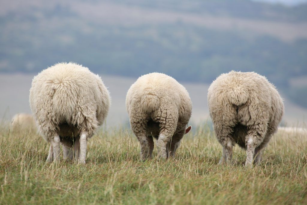 Курдючный баран (овца): фото, что такое курдюк, описание и разведение